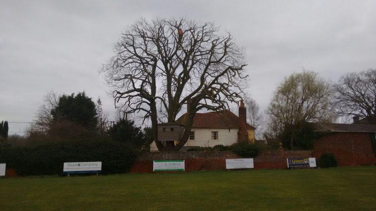 Oak tree full reduction in Earls Colne